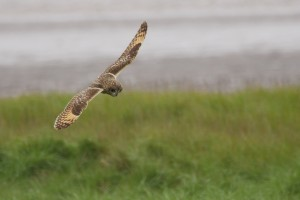 robert j - owl in flight