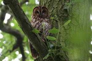 robert j - owl in tree
