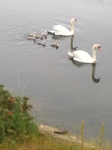 swan & cygnets II